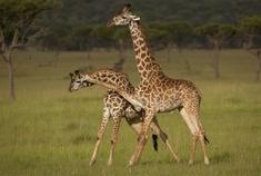 Passage To Africa - Serengeti - Tanzania #Giraffes