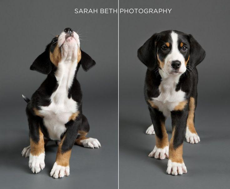 Greater Swiss Mountain Dog - Puppy Portraits | Sarah Beth Photography | Minneapolis Saint Paul Minnesota Dog & Pet Photographer | Studio Pet...