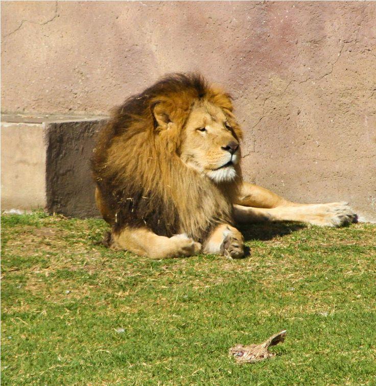 El León visto desde el mirador de Leones en el Zoológico de Aragón.