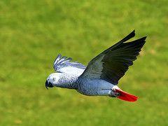 African Grey Parrot in Flight