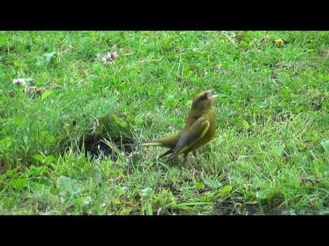 DE GROENLING baltsend european greenfinch - YouTube