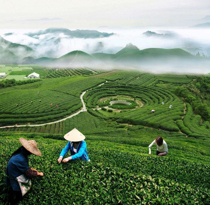 Tea-picking Farmers in Longjing Hangzhou http://www.easytourchina.com/scene-v1244-longjing-tea-plantation-village