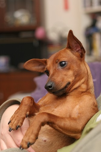 To have a miniature pinscher.