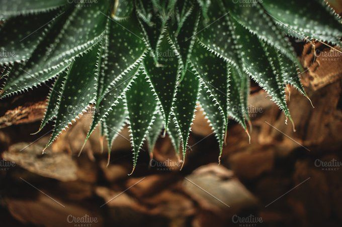 Spiky succulent with fleshy leaves by Rene Jordaan Photography on @creativemarket
