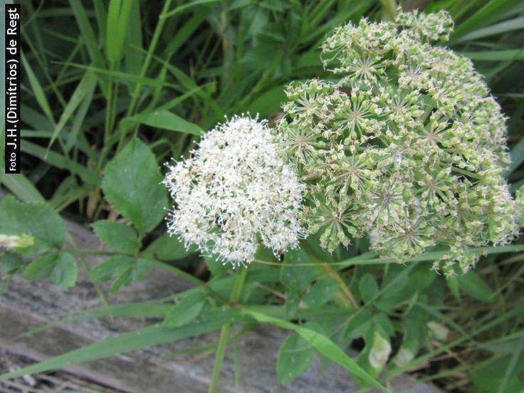 Gewone engelwortel - Angelica sylvestris (bloeiend)