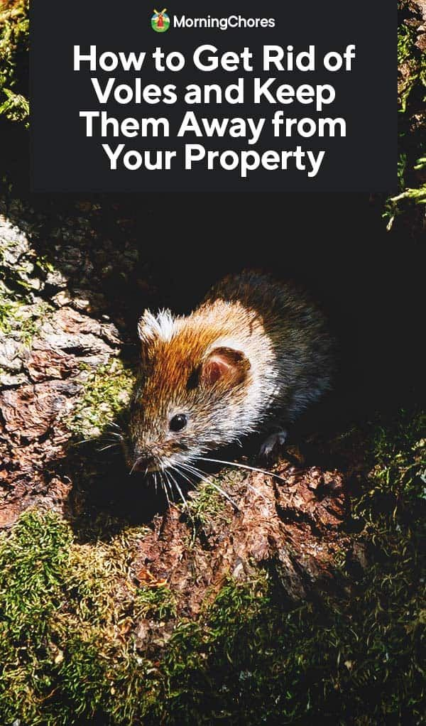 How To Get Rid Of Voles And Keep Them Away From Your Property In 2020 Raised Garden Designs Big Garden Garden Design