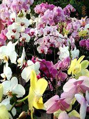 Coltivare le orchidee - Gruppo di Phalaenopsis