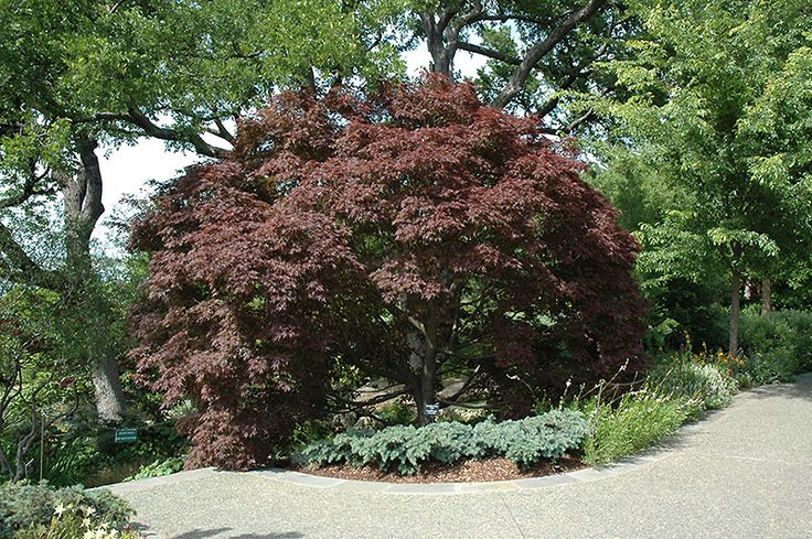 17 best images about dwarf trees on pinterest gardens trees and crabs for Stein s garden home green bay wi
