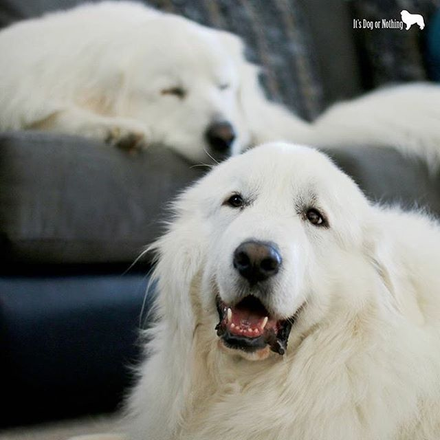 Love is a Great Pyrenees | It's Dog or Nothing | Pinterest ...