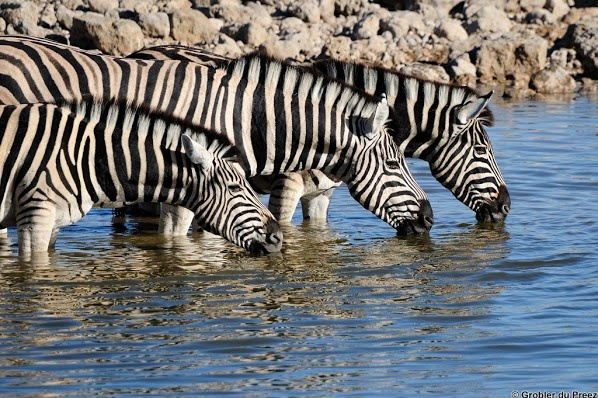 Zebras at the Okaukeujo waterhole, Etosha National Park, Namibia