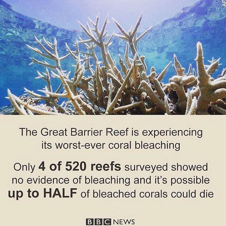 Dünya üzerindeki en büyük canlı olan Büyük Bariyer Resifi yok olma tehdidiyle karşı karşıya. İncelenen 520 resiften 516'sında kireçlenme gözlemlendi.  bbc.in/barrier  #GreatBarrierReef #BarrierReef #Australia #Marine #Coral #Bleaching #BBCGoFigure #BBCNews by ningauble http://ift.tt/1UokkV2