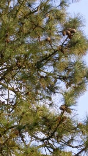 Pinus jefreii