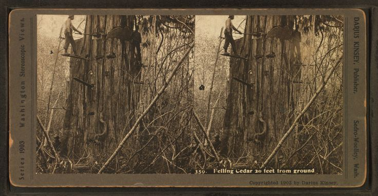 File:Felling cedar 20 ft. from ground, by Kinsey, Darius, 1869-1945.png