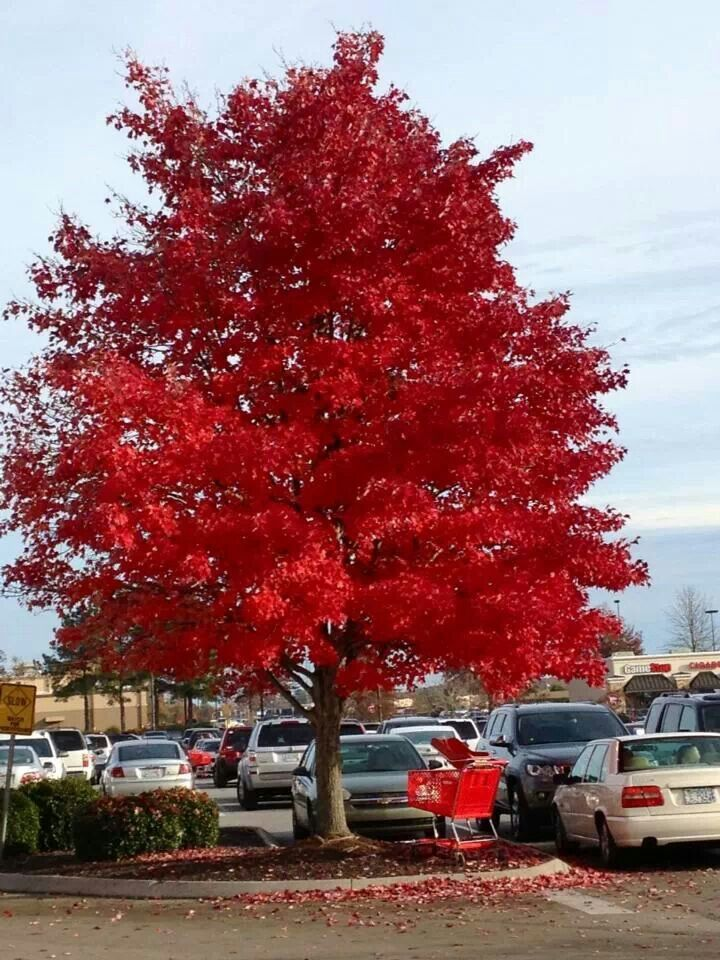 45 Best Images About Santa Clara City Trees On Pinterest