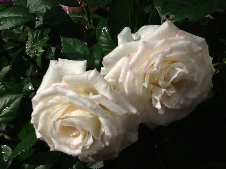 Valkoiset ruusut