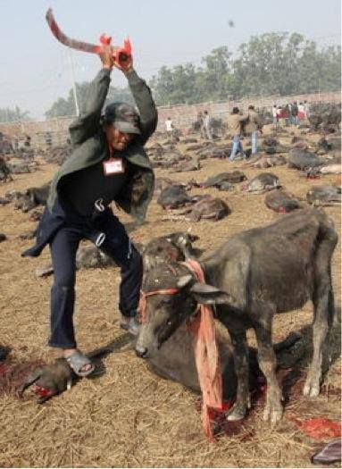 Religion: another cause for violent slaughtering of animals. Just fucked up. This is not the Middle Ages. These people are just plain murderers. Disgusting, cruel and pathetic. Sacrifices....give me a break.