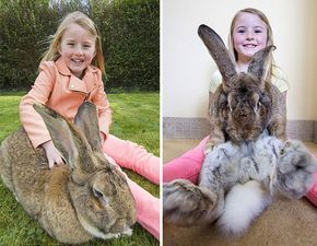 At 4ft 4in (1.3m) and 22.2kg, Darius is currently the biggest rabbit in the world, but he may not hold that title for much longer, because there's a new pretender – his son. Jeff is 3ft 8in (1.1m) and has about 6 months of growing left, so his owner, Annette Edwards, expects him to grow larger than his dad.