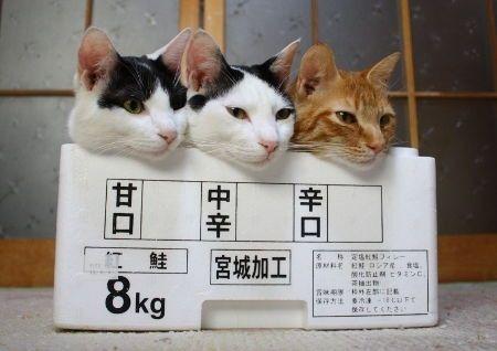甘口、中辛、辛口、猫、猫、猫 | A!@Atsuhiko Takahashi