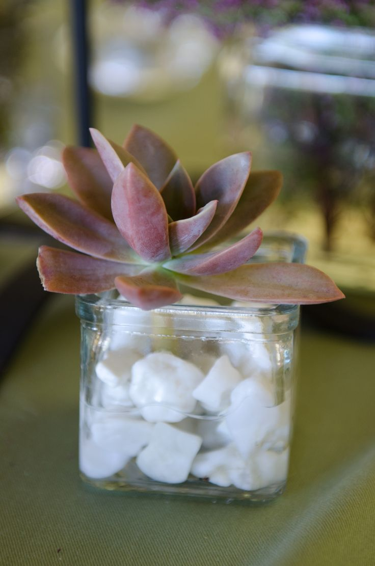 Miniature succulents in glass pots as table decor
