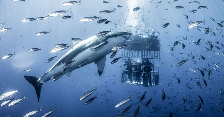 The shark, which weighs more than two tonnes, can be seen circling the shark cage time and time again