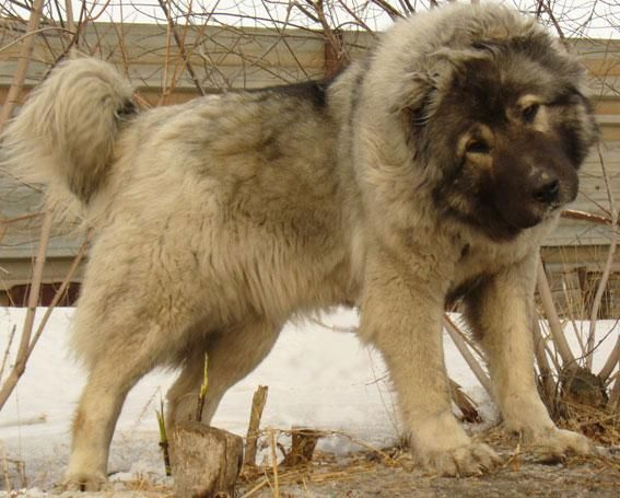 Caucasian shepherd dog - used for guard work, hunting bears and shepherding.  This is a WORKING dog.