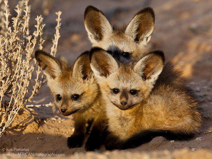 Cuccioli di otocione o volpe dalle orecchie di pipistrello