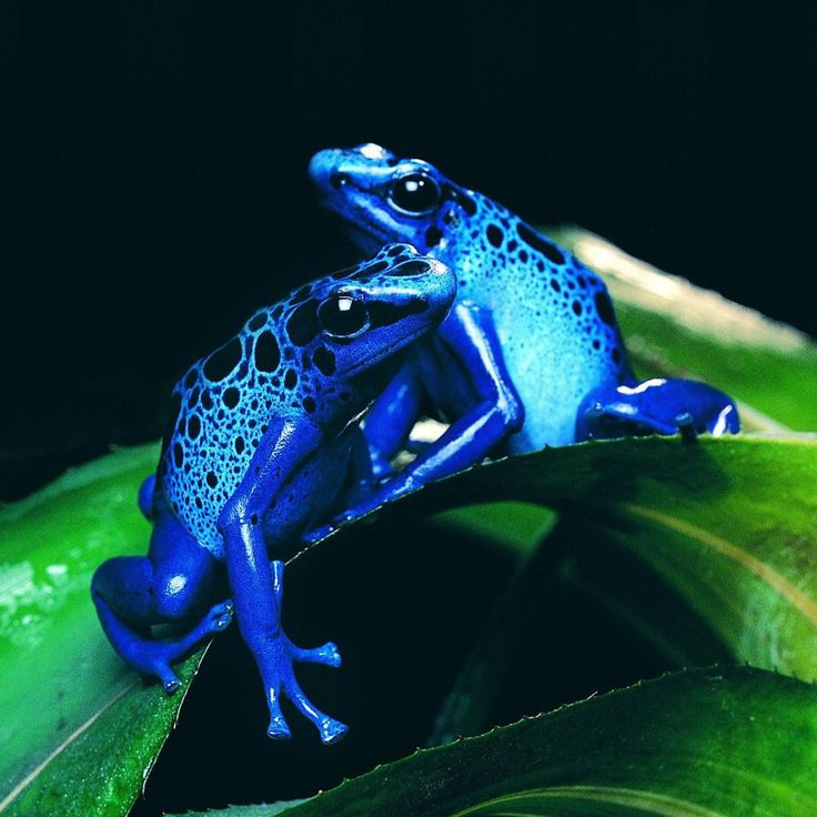 Frogs:Blue and Blissful
