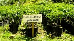 What is it about Geisha?   Mercanta - The Coffee Hunters