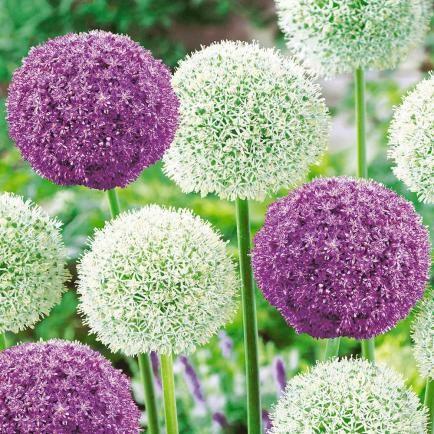 Riesen-Allium-DUO,3 Zwiebeln