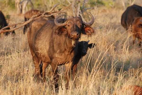 Büffelkuh und Nyala- Südafrika