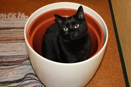 gatto in un vaso  Black cat