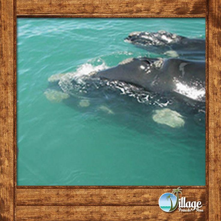 """O corpo é negro e arredondado, as baleias francas não tem as nadadeira dorsal e a cabeça ocupa quase 1/4 do comprimento total do seu corpo. O ventre apresenta manchas irregulares.  A mais marcante característica morfológica da espécie são as """"verrugas"""", na cabeça."""