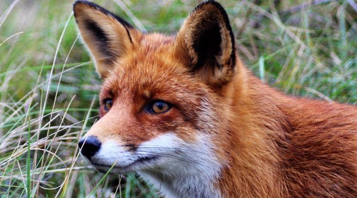 """""""En dan vanuit mijn ooghoek zie ik op nog geen meter afstand een prachtige vos dichterbij komen. Geweldig wat een mooi moment om een wilde vos zo in de ogen te kunnen kijken en vast te kunnen leggen."""" Lees meer op www.reiskrantreporter.nl/reports/5198"""