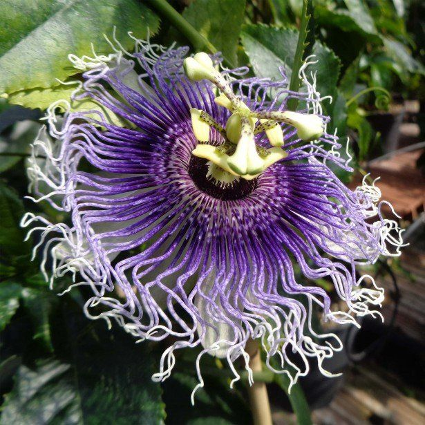 Passiflore Byron Beauty - Fleur de la Passion à fleurs ...