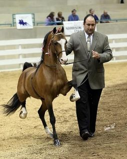 Is this a miniature Standardbred? No I believe it is a Hackney Pony