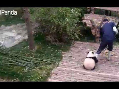 Cute Panda Videos for National Panda Day