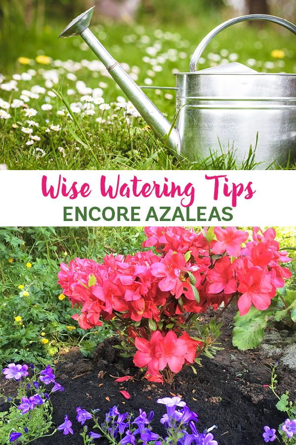 Wise Watering Helps Encore Azaleas Thrive On The West Coast Azaleas Care Plant Care Garden Care