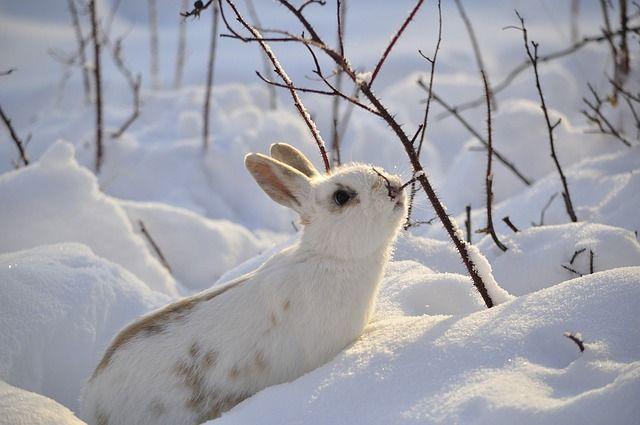 Free photo: Rabbit, Wild, Animal, Nature, White - Free Image on Pixabay - 2910054