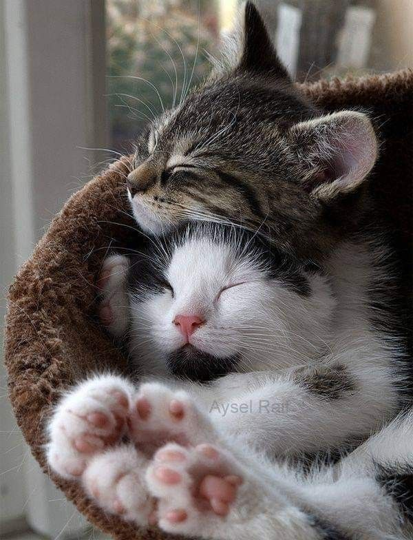Pin By Annemarie Leblanc On Babies Kittens Cutest Animal Hugs Cute Animals