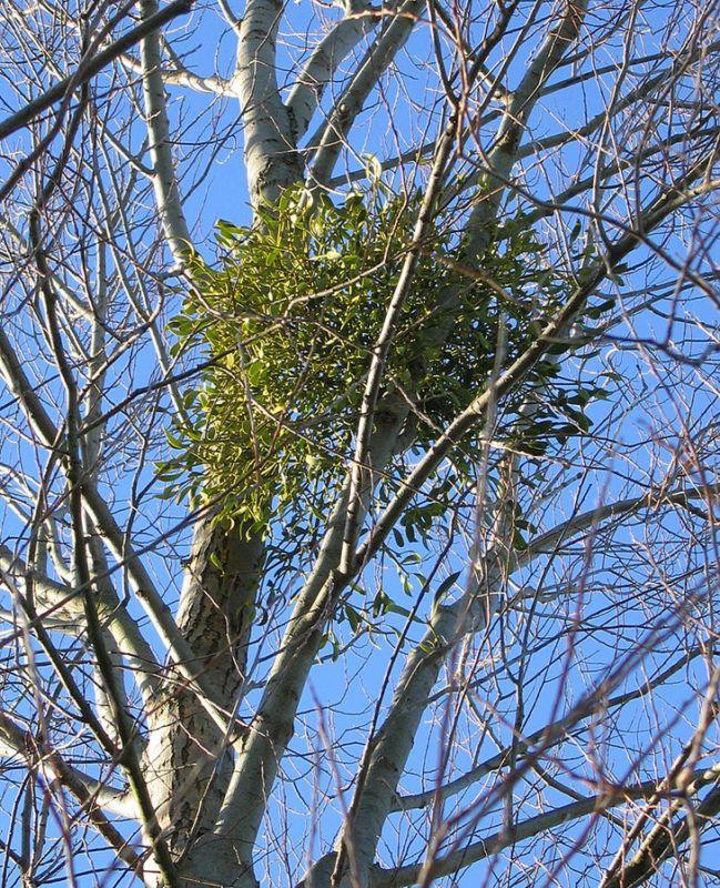 Die auf Bäumen wachsende Mistel ist nicht nur für Paare ein Glücksbringer. Sie stärkt Kreislauf, und Verdauung, reguliert den Blutdruck und einiges mehr. - Bild von Andrew Dunn - CC BY-SA 2.0