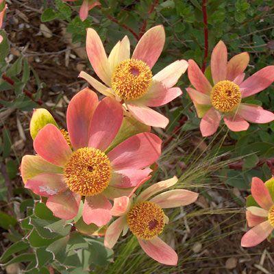 floral leucadendron Cloudbank Ginny
