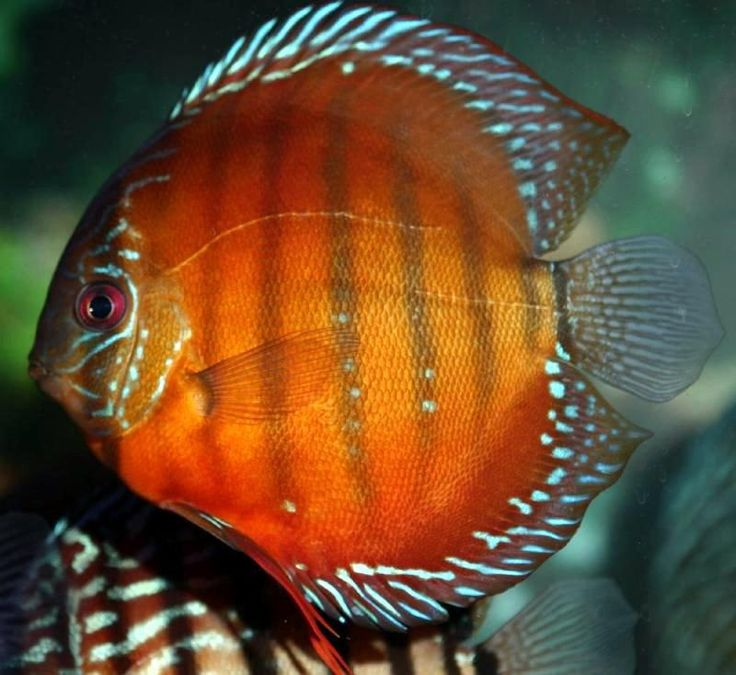 1000 images about discus fish on pinterest cichlids for Discus fish price