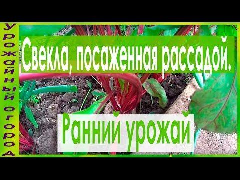 РАННИЙ УРОЖАЙ СВЕКЛЫ!!! - YouTube
