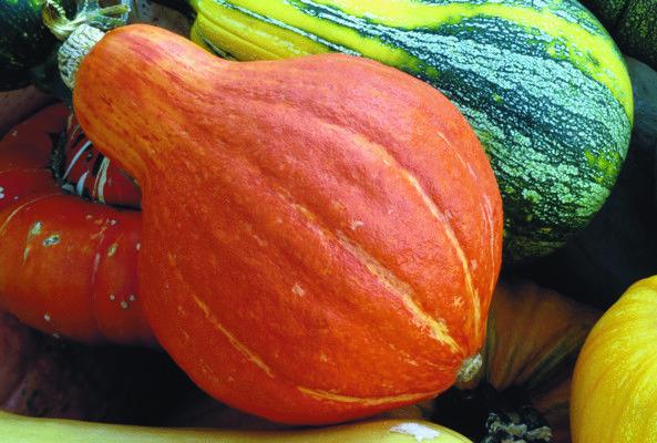 Potimarron à Gros Fruits - Fruits de 2 à 4 kg en forme de poire. Epiderme fin, de couleur rouge-orange foncé. Chair d'excellente qualité, de couleur jaune, sucrée, avec une saveur de châtaigne. Les fruits se conservent de 4 à 8 mois.  Une variété traditionnelle originaire du Japon.