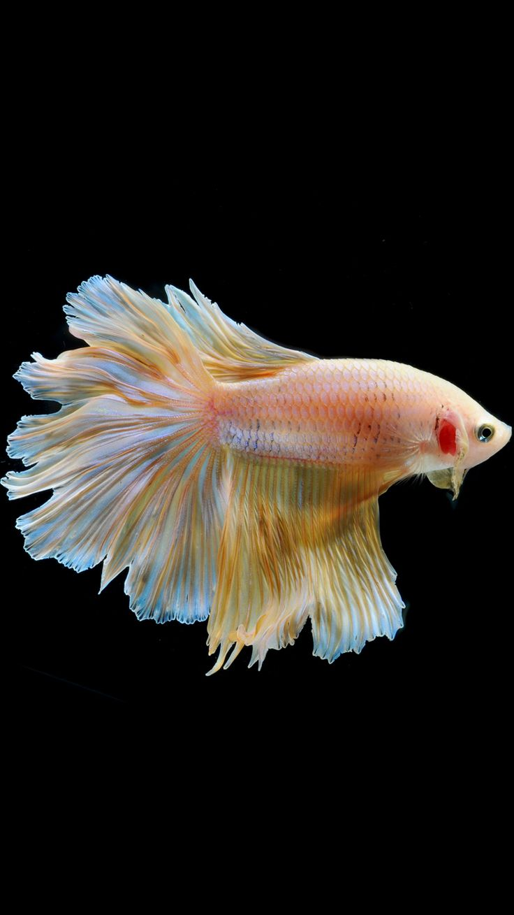 Apple iPhone 6s Wallpaper with Gold Albino Betta Fish in ...