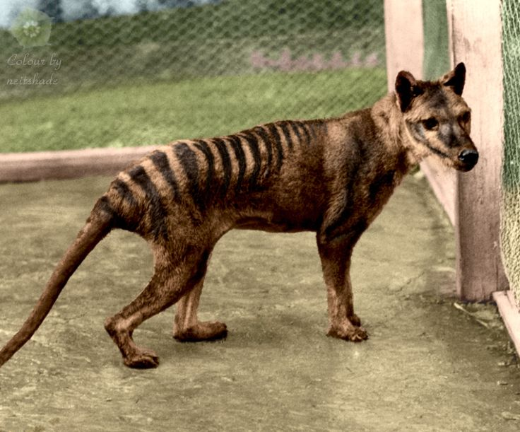 The thylacine was the largest known carnivorous marsupial of modern times. It is commonly known as the Tasmanian tiger or the Tasmanian wolf. Wikipedia