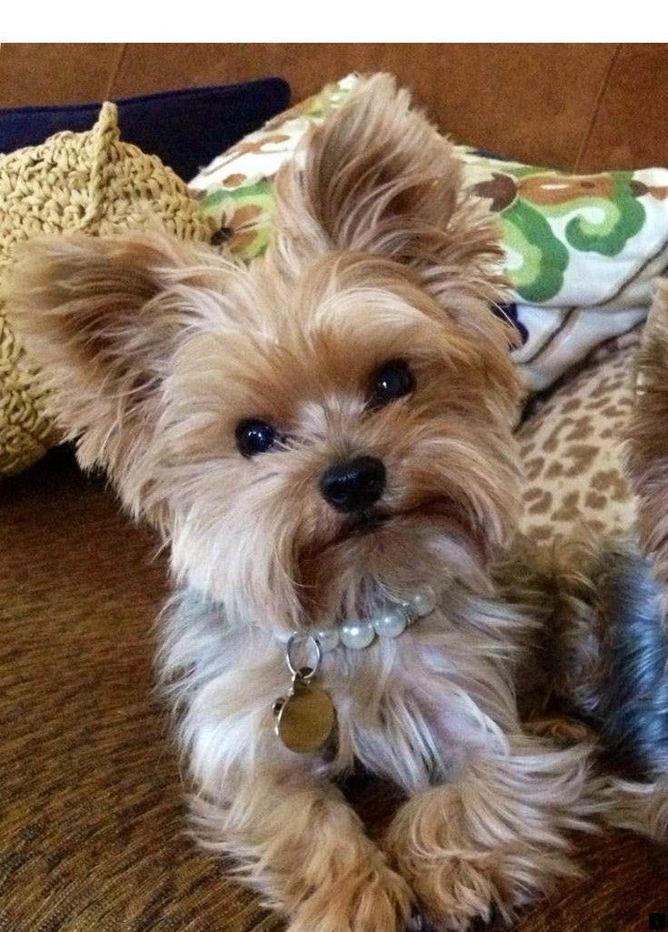 Just Click The Link To Find Out More Yorkie Simply Click Here To Get More Information Viewing The Websit Cute Animals Yorkie Puppy Yorkshire Terrier Puppies