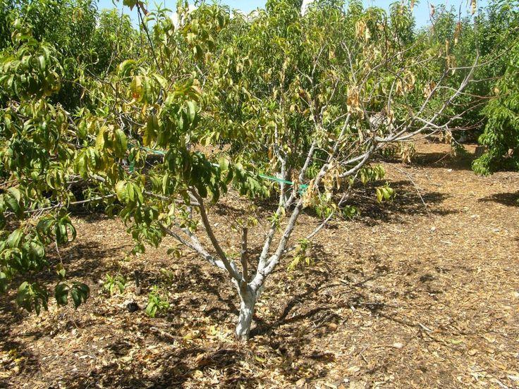 Суховершинность персика