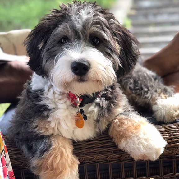 Bernedoodle Breeder Puppies Dogs Service Dogs