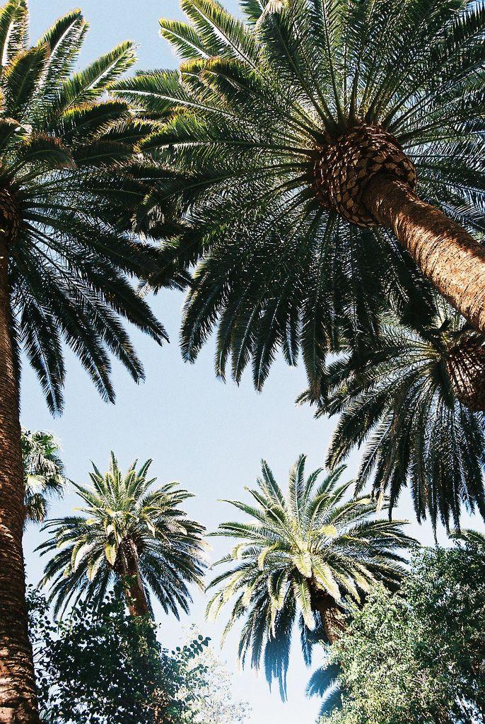 Pinterest ~ Sarah XO For more California Palms